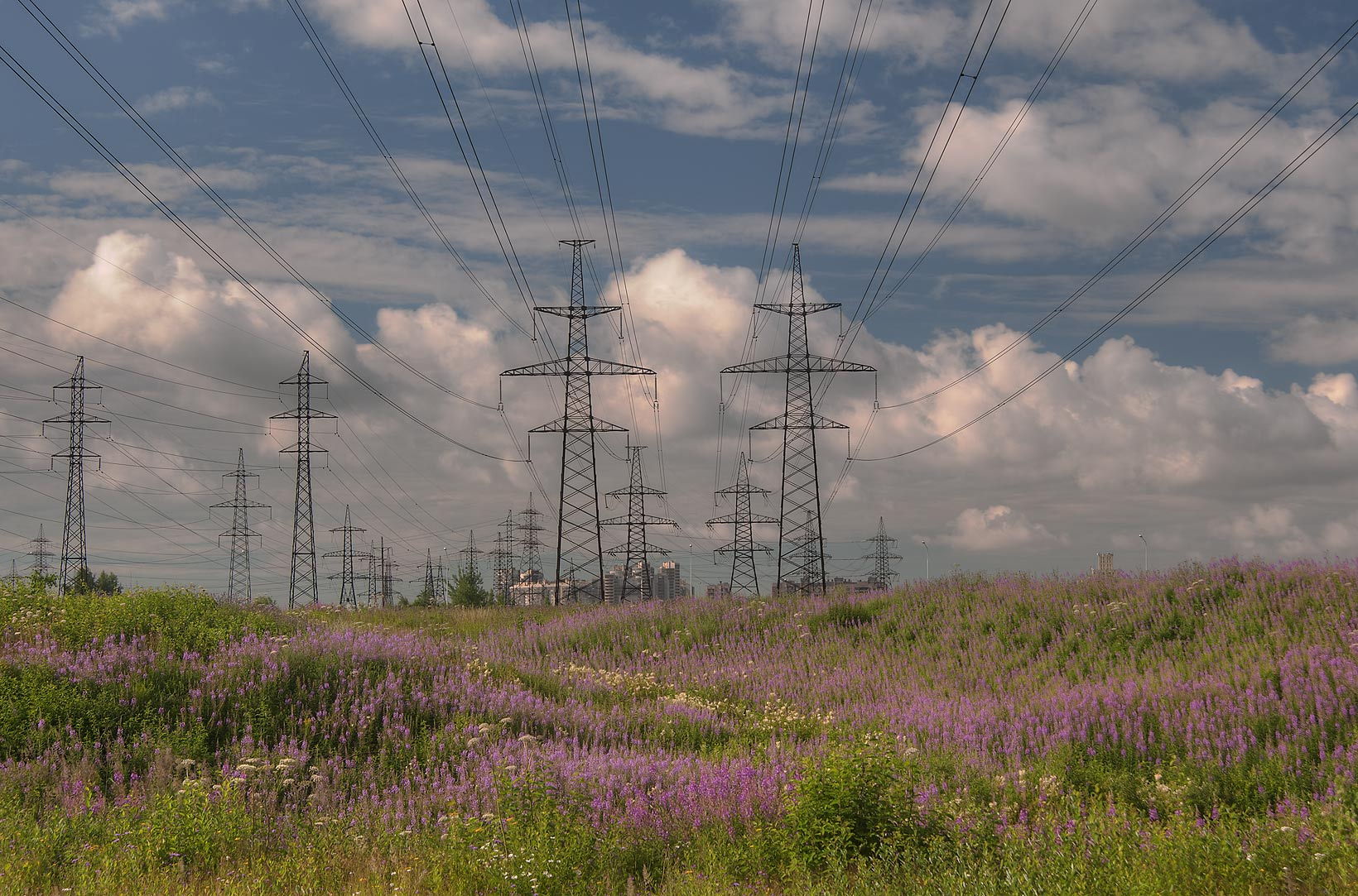 Fireweed growing under power lines west from Deviatkino. St.Petersburg, Russia