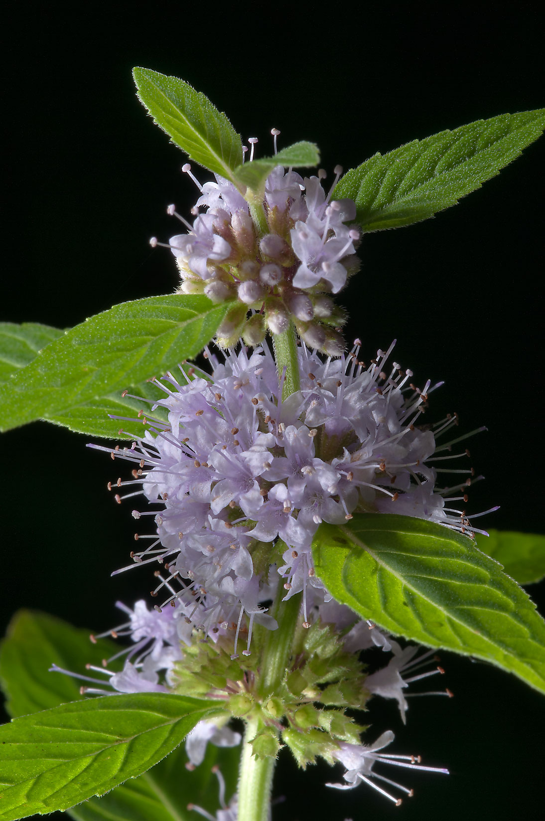 Field mint (Mentha arvensis) near Sablinka River...miles south from St.Petersburg. Russia