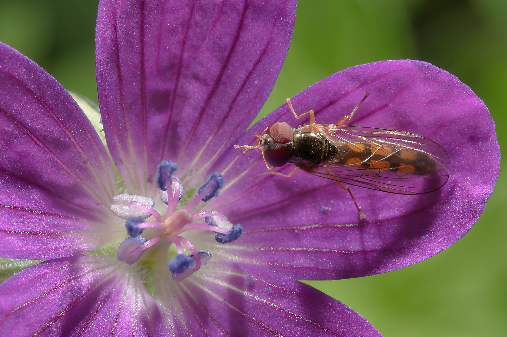 Hoverfly on a flower of Wood cranesbill (Geranium...miles south from St.Petersburg. Russia