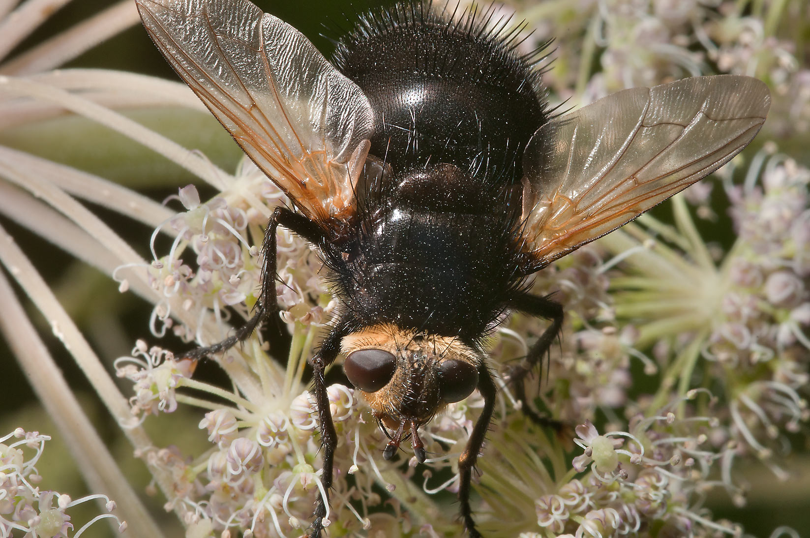 Giant tachinid fly (Tachina grossa) on flower...miles south from St.Petersburg. Russia