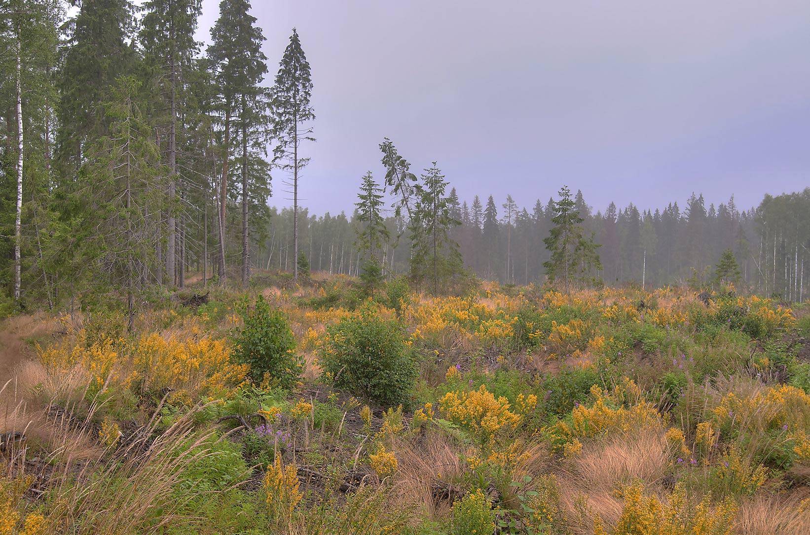 Goldenrod grown on forest cutting near Lembolovo...miles north from St.Petersburg. Russia