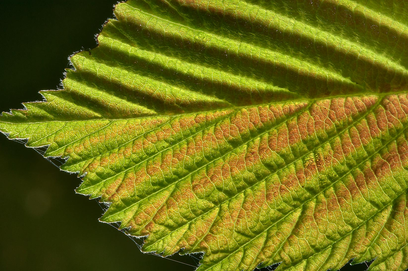 Back lit leaf of Grey Alder (Alnus incana) in...from Deviatkino. St.Petersburg, Russia