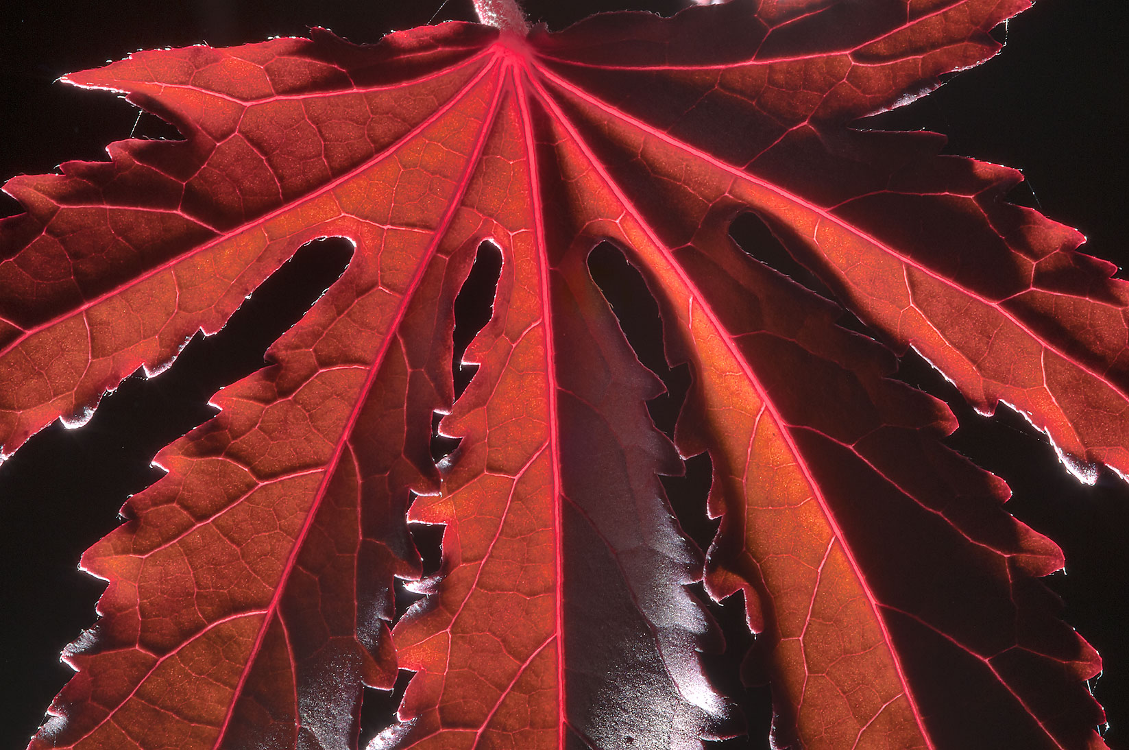 Palmately lobed red leaf in TAMU Horticultural...M University. College Station, Texas