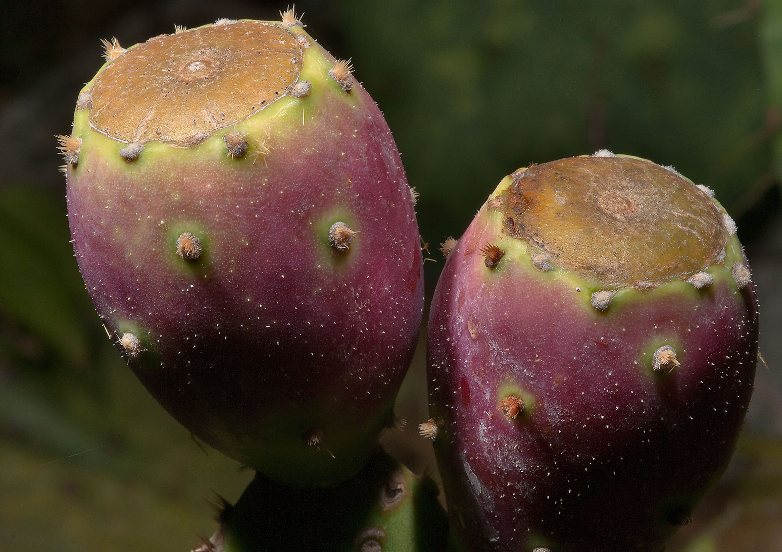 Fruits of prickly pears (Opuntia) in TAMU...M University. College Station, Texas