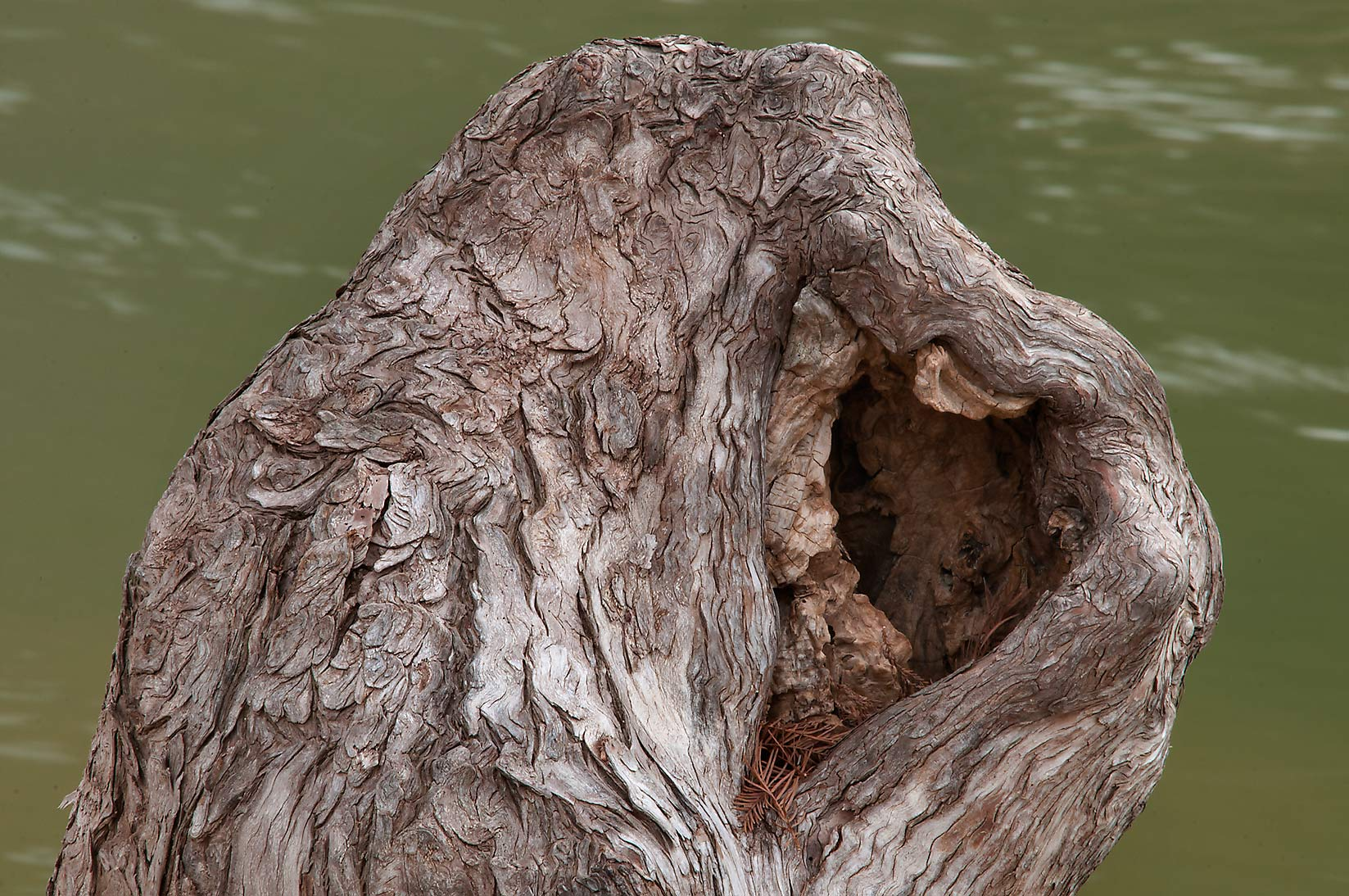 Tip of a cypress knee in Pedernales Falls State Park. Johnson City, Texas