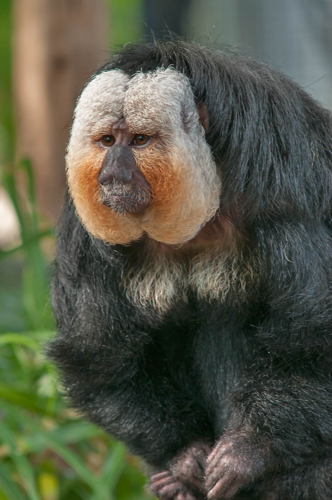 White-face saki monkey (Pithecia pithecia) in...of Moody Gardens. Galveston, Texas