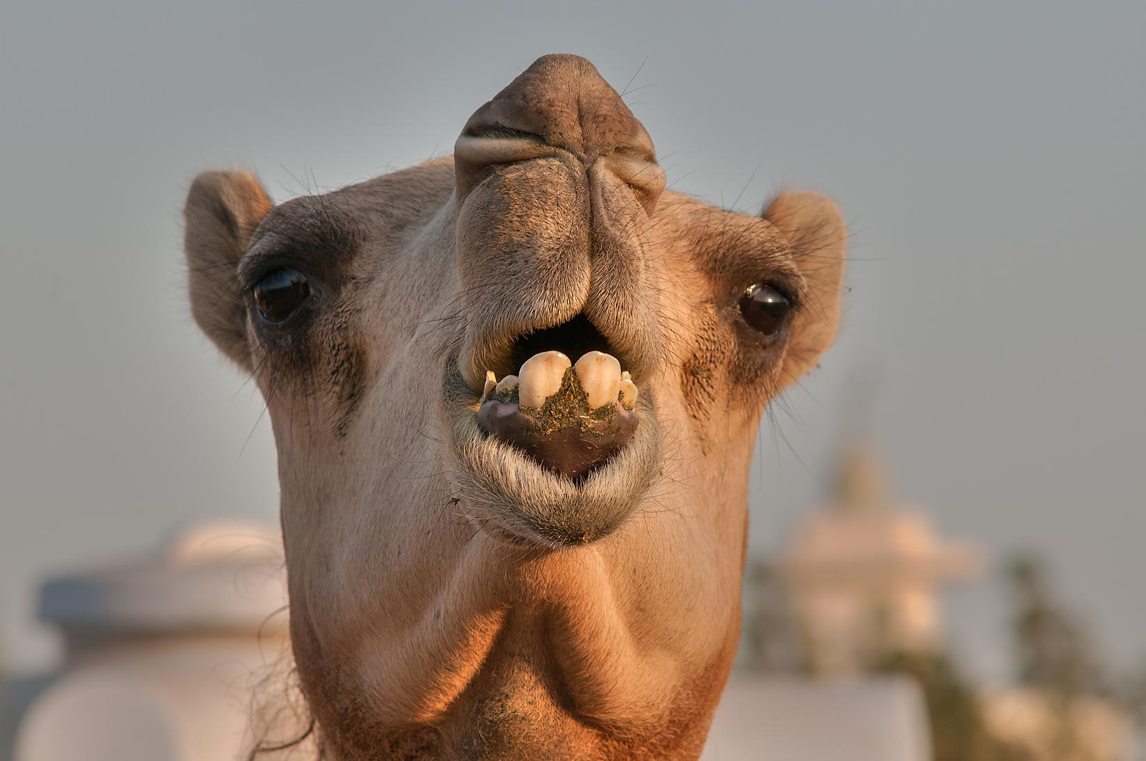 Camel's face in Camel Market (Souq), Wholesale Markets area. Doha, Qatar