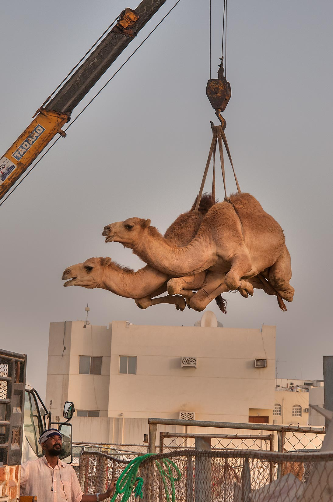 Camels lifted in air by hydraulic crane in Camel...Wholesale Markets area. Doha, Qatar