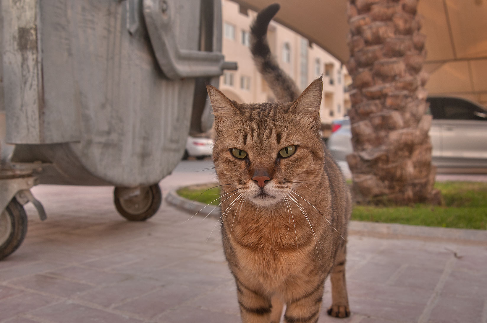 Stray cat near a dumpster in Dar al Salam Compound, Abu Hamour area. Doha, Qatar