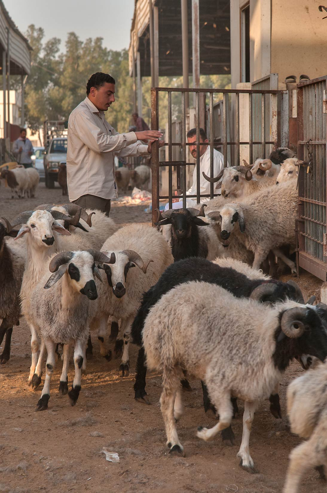 Counting sheep in Livestock Market, Wholesale Markets area. Doha, Qatar