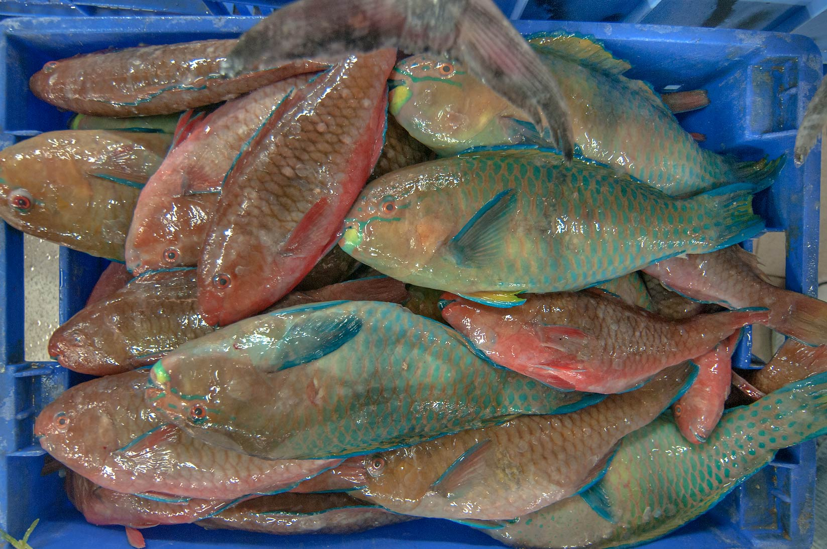 Parrotfish (Gain, Chlorurus sordidus) in Central Fish Market, Abu Hamour area. Doha, Qatar