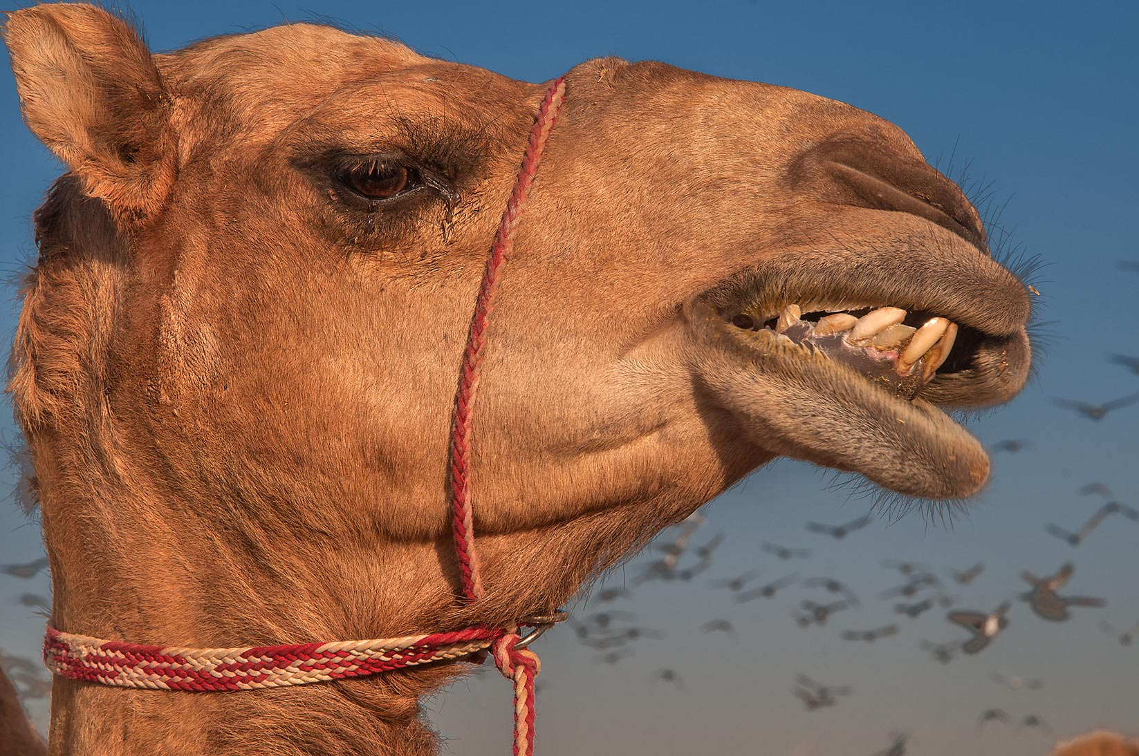 Camel showing its teeth in livestock market, Abu Hamour area. Doha, Qatar