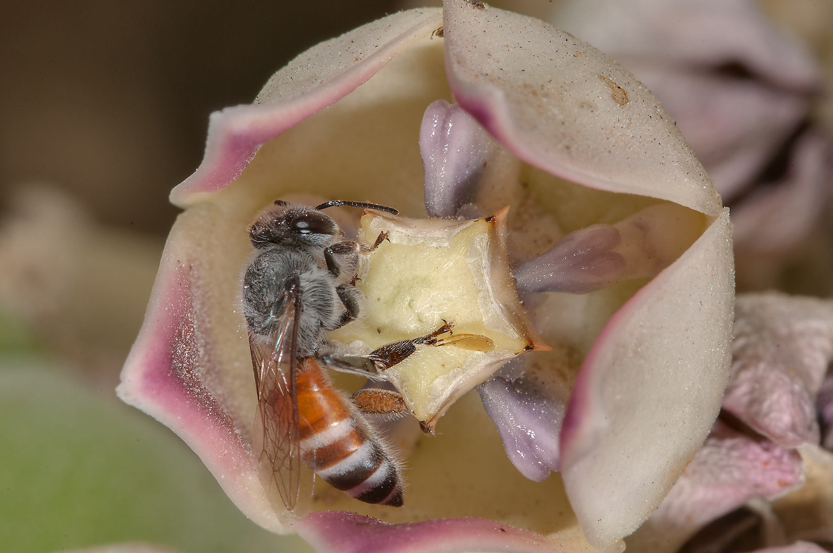 Honey bee on Sodom Apple (Calotropis procera) in...Compound, Abu Hamour area. Doha, Qatar