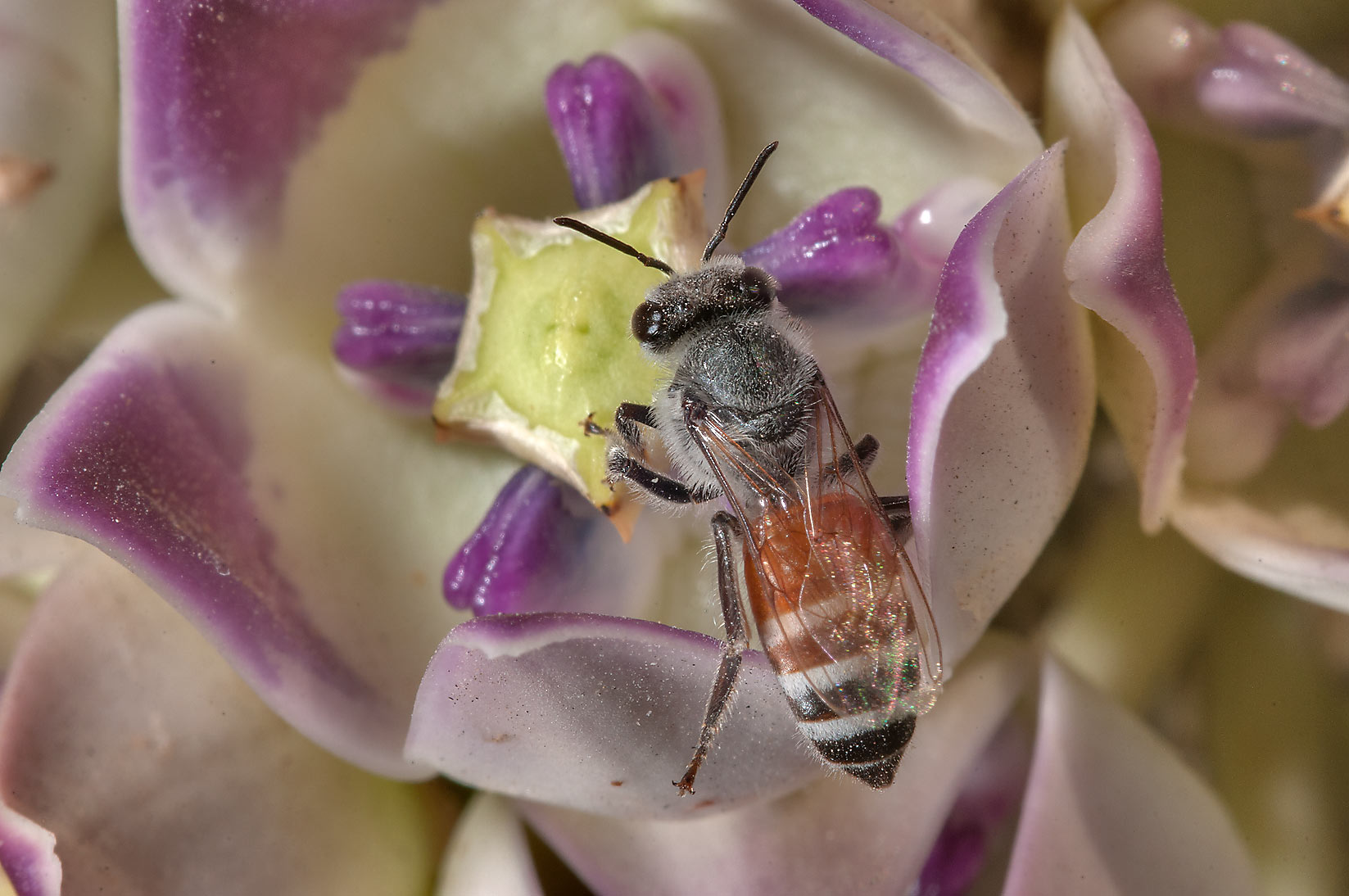 Honey bee on a flower of on Sodom Apple...Compound, Abu Hamour area. Doha, Qatar