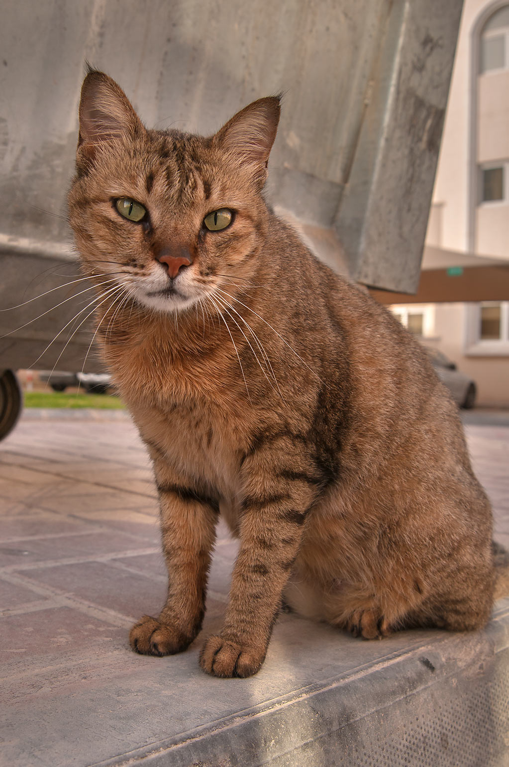 Tabby stray cat sitting near a dumpster in Dar Al...Compound, Abu Hamour area. Doha, Qatar