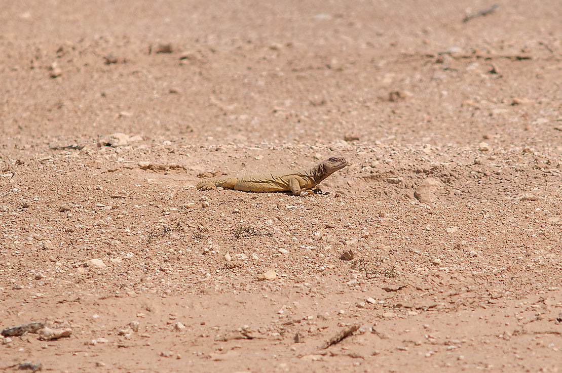 Sun bathing dhub (spiny-tailed agama, Egyptian...of Ras Laffan, north from Doha. Qatar