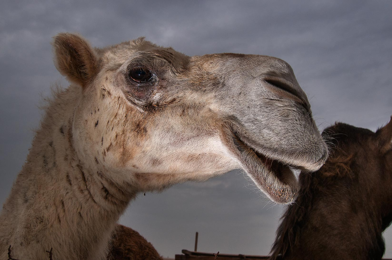 Camel with open mouth in livestock markets, Abu Hamour area. Doha, Qatar