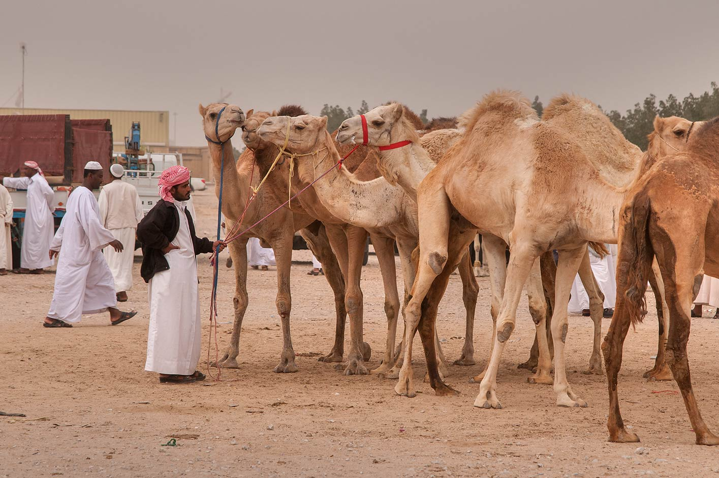 Row of camels in livestock markets, Abu Hamour area. Doha, Qatar