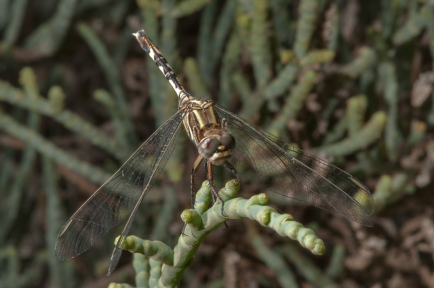 Dragonfly on saltwort in Safliya Island near Doha. Qatar