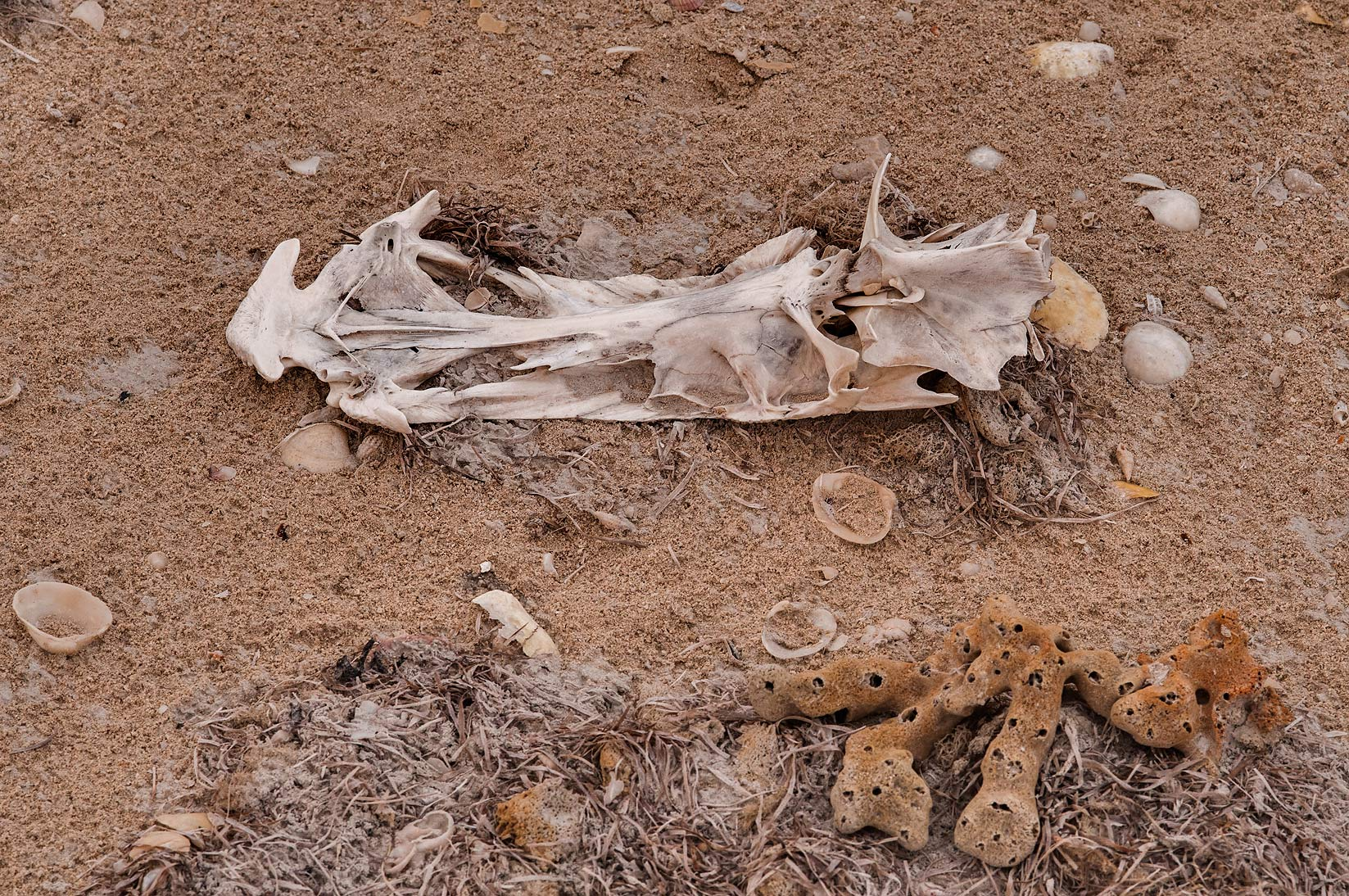 Bird's bones and sea sponges on a beach in Safliya Island near Doha. Qatar