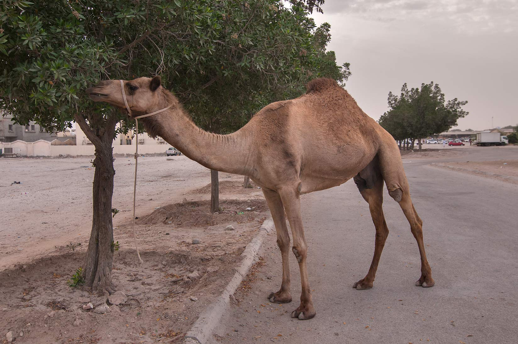 Runaway camel eating planted damas trees...St. area in Abu Hamour. Doha, Qatar