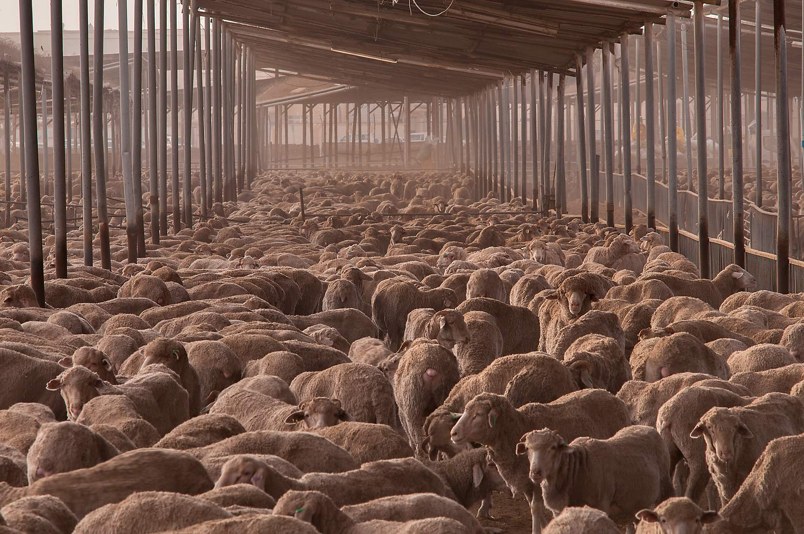 Australian sheep crammed into a dusty feedlot of...Abu Hamour area. Doha, Qatar