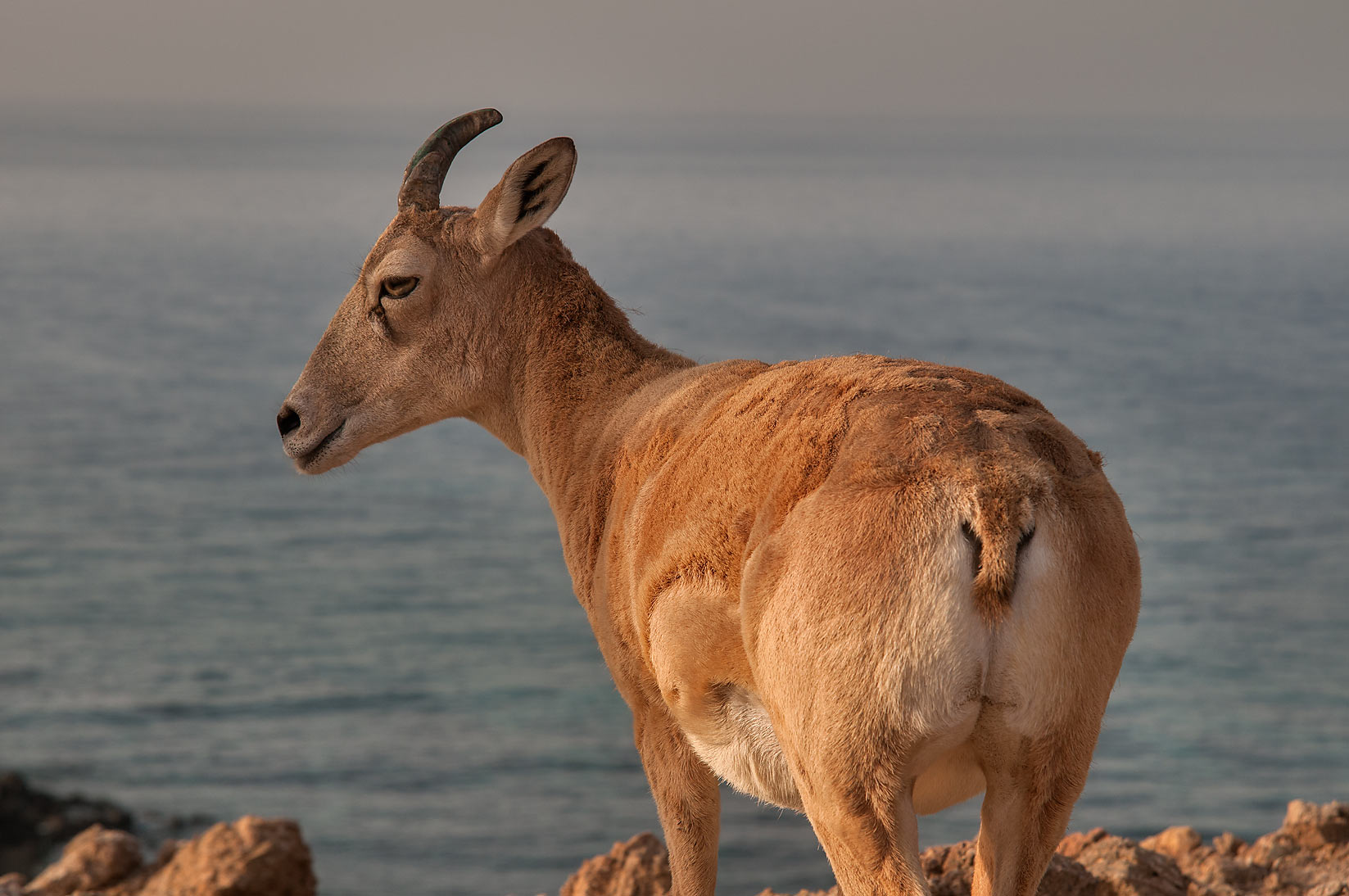 Mountain goat standing on northern tip of Haloul...with Persian Gulf in background. Qatar