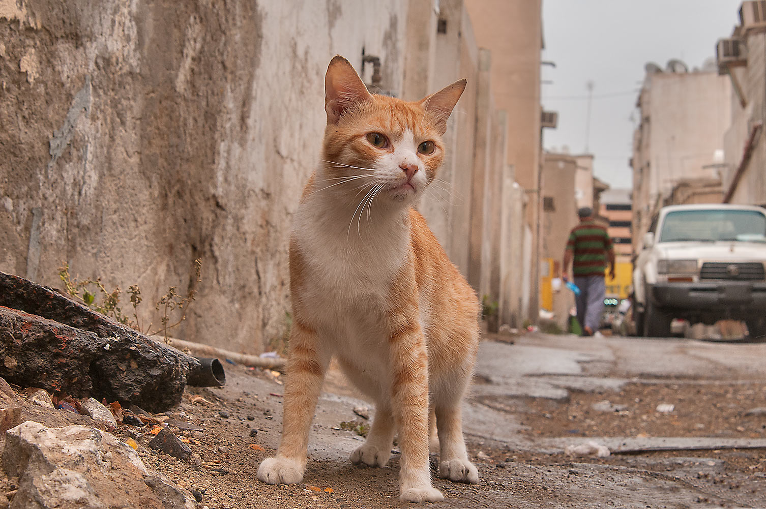 Bicolor arabian mau cat in sikka (narrow alleyway...St., Musheirib area. Doha, Qatar