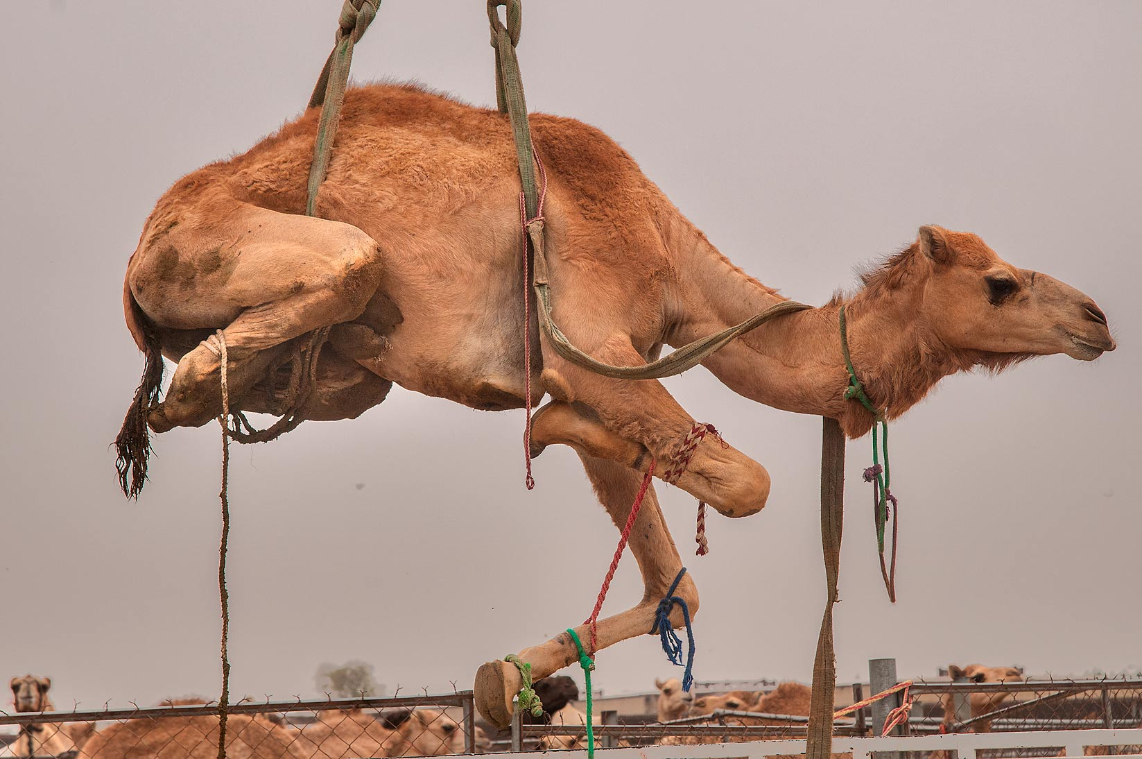 Camel suspended by hydraulic crane in livestock market, Abu Hamour area. Doha, Qatar