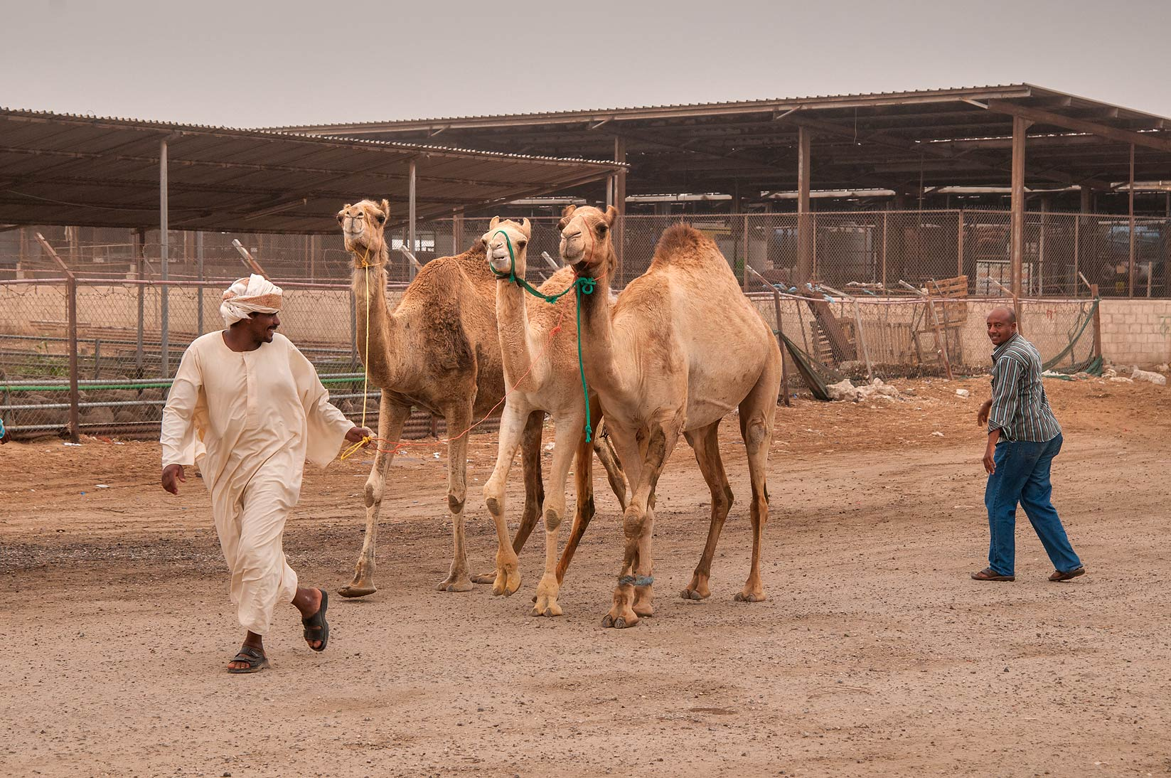 A person holding three camels in livestock market, Abu Hamour area. Doha, Qatar