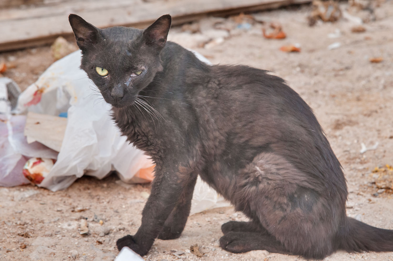 Black stray cat in Musheirib area. Doha, Qatar