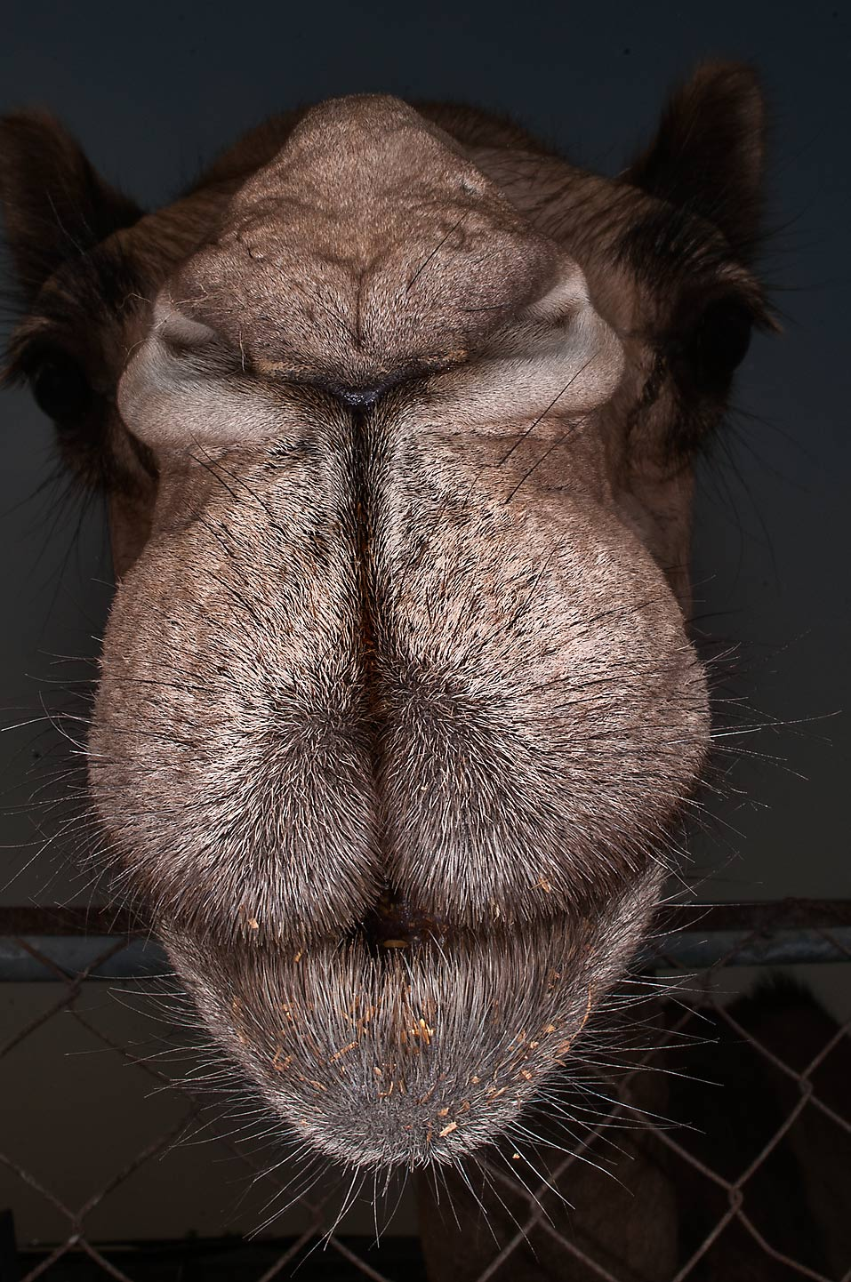 Camel's head hanging over a fence in Livestock Market, Wholesale Markets area. Doha, Qatar