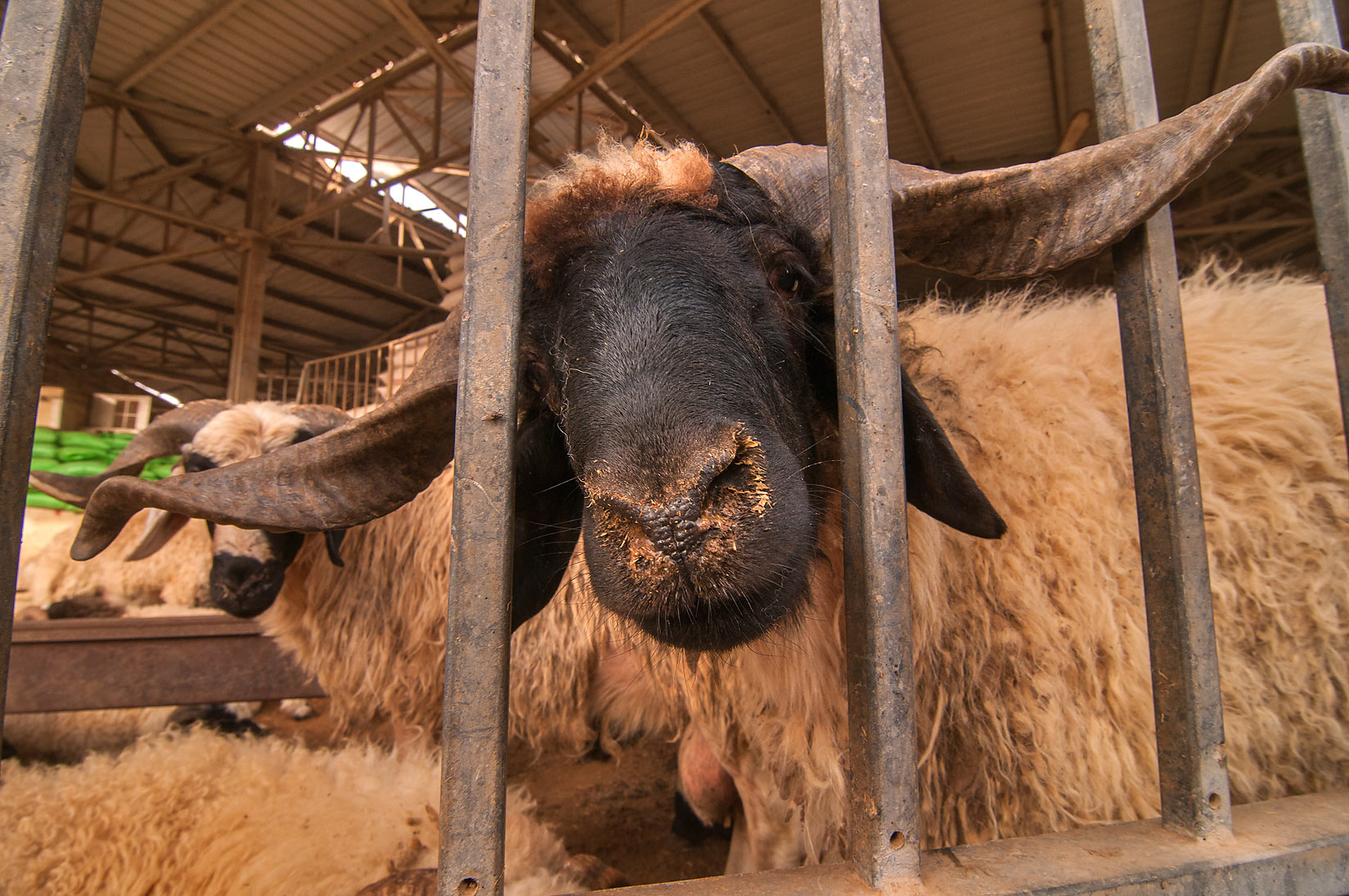Ram's head in Livestock Market, Wholesale Markets area. Doha, Qatar