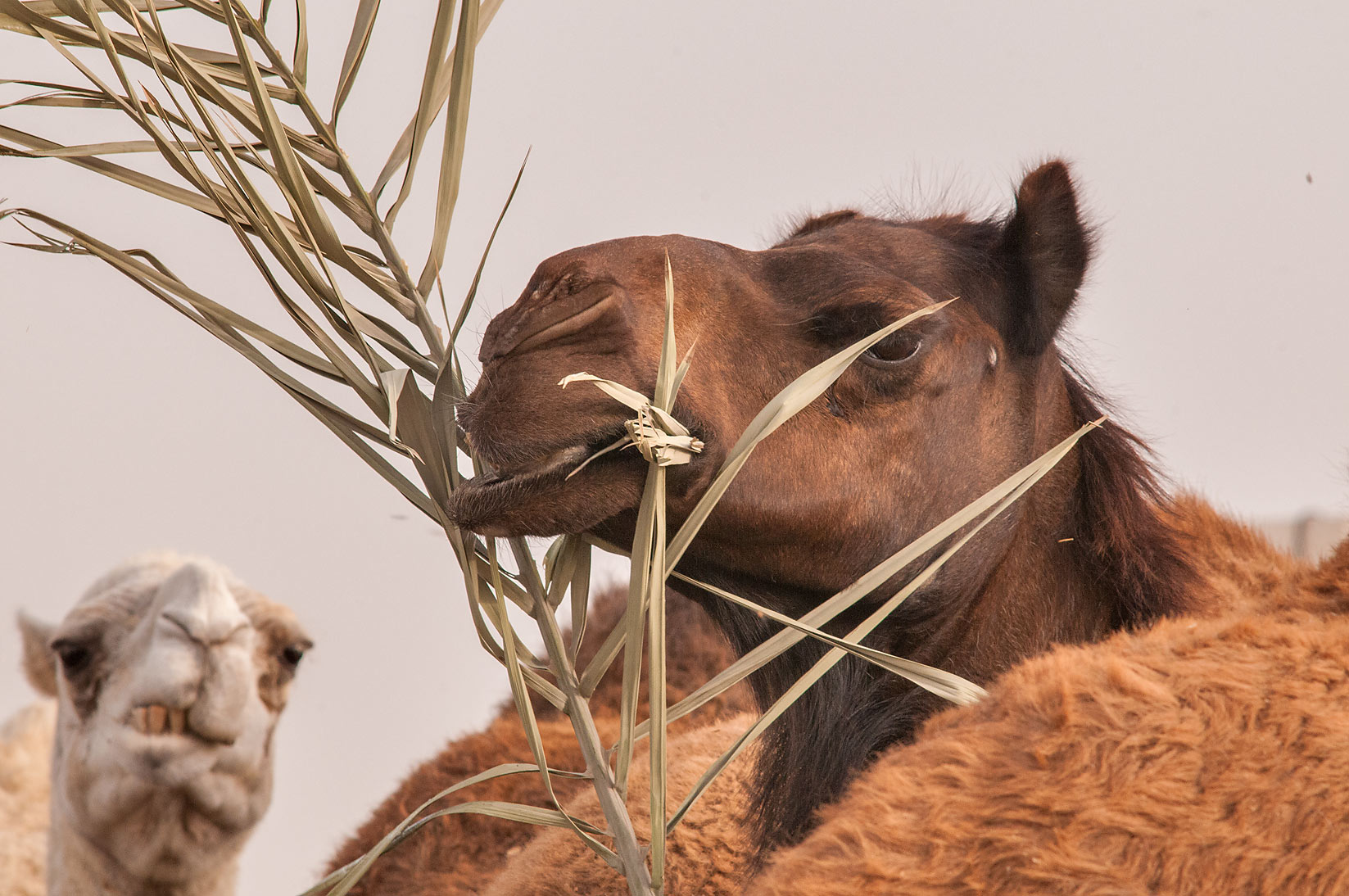Camels eating palm leaves in Livestock Market, Wholesale Markets area. Doha, Qatar