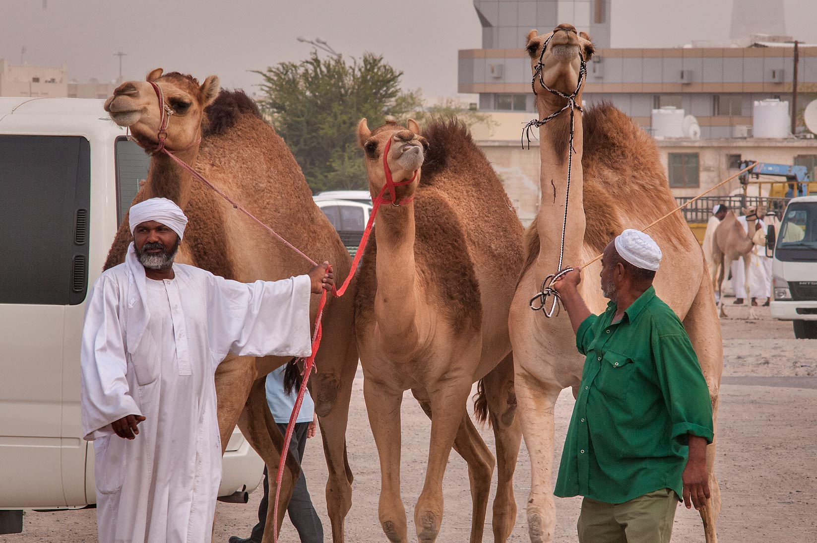 Three directed camels in Livestock Market, Abu Hamour area. Doha, Qatar