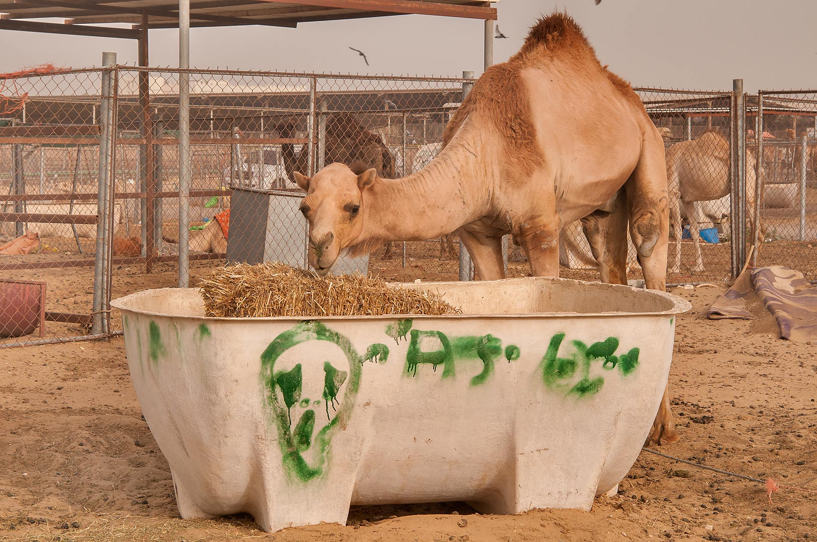 Graffiti on camel's feeder with fodder in Livestock Market, Abu Hamour area. Doha, Qatar