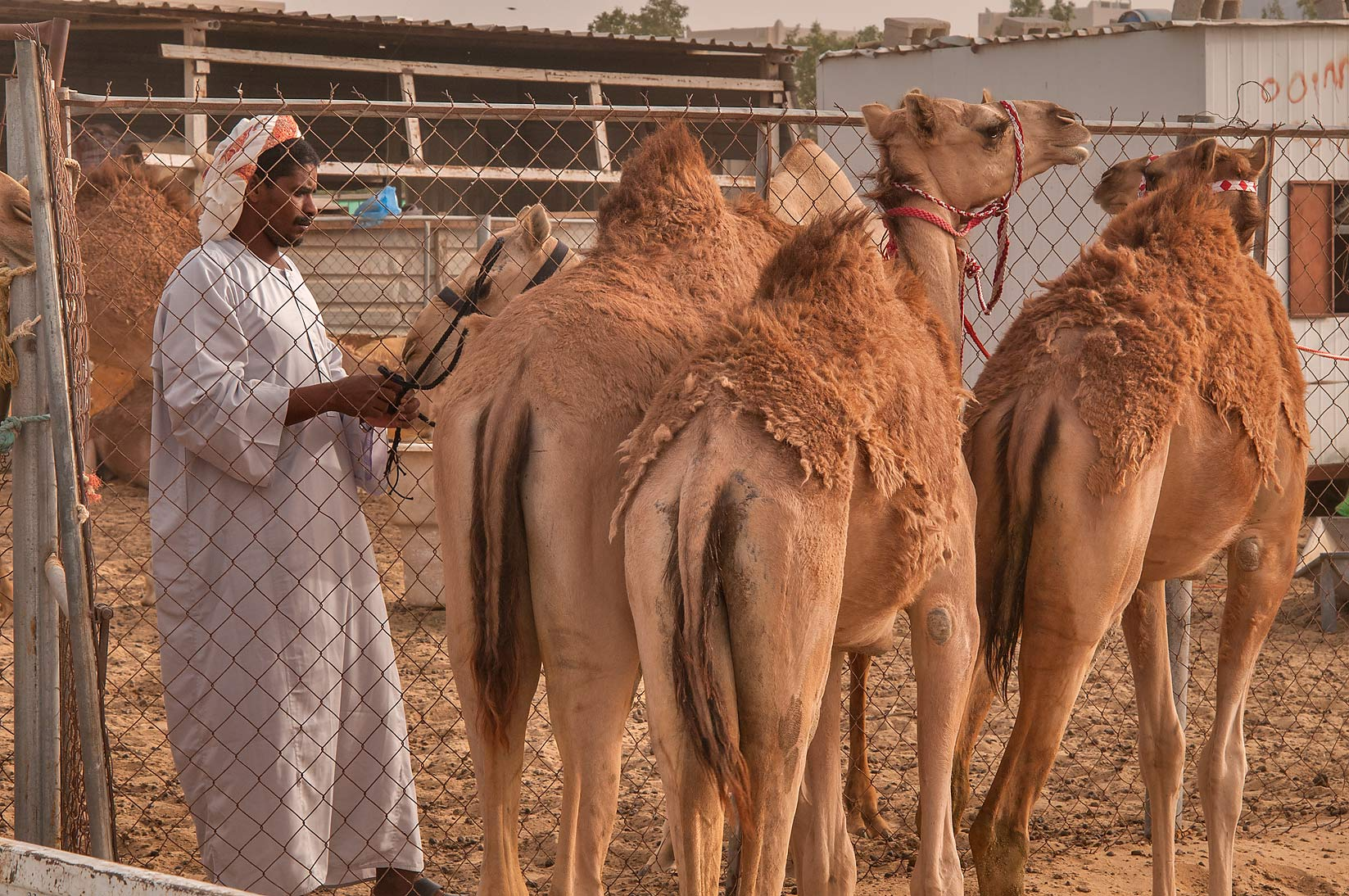 Molting camels in Livestock Market, Abu Hamour area. Doha, Qatar