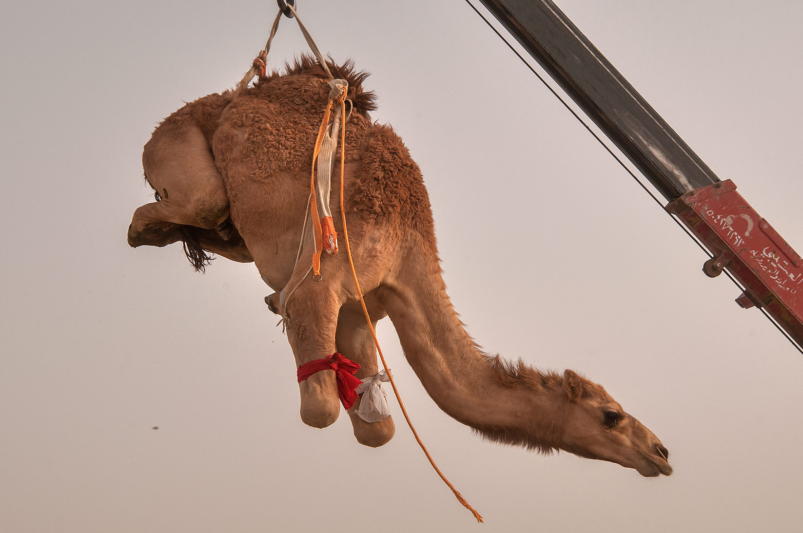 Camel suspended in air by hydraulic crane in...Market, Abu Hamour area. Doha, Qatar