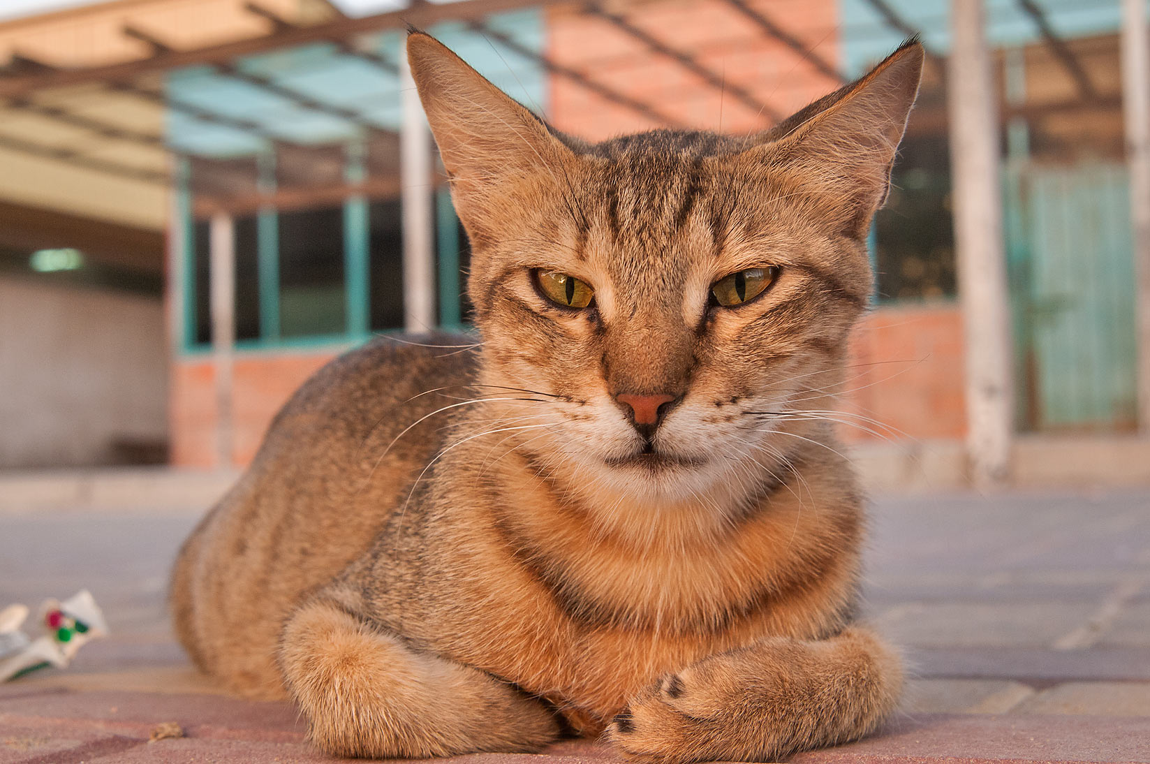 Tabby cat sitting in front of Wholesale Fish Market in Abu Hamour. Doha, Qatar