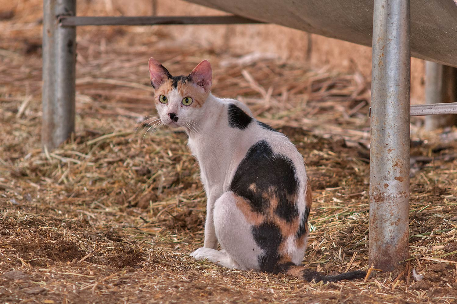Calico cat sitting in Camel Market, Livestock Markets area in Abu Hamour. Doha, Qatar