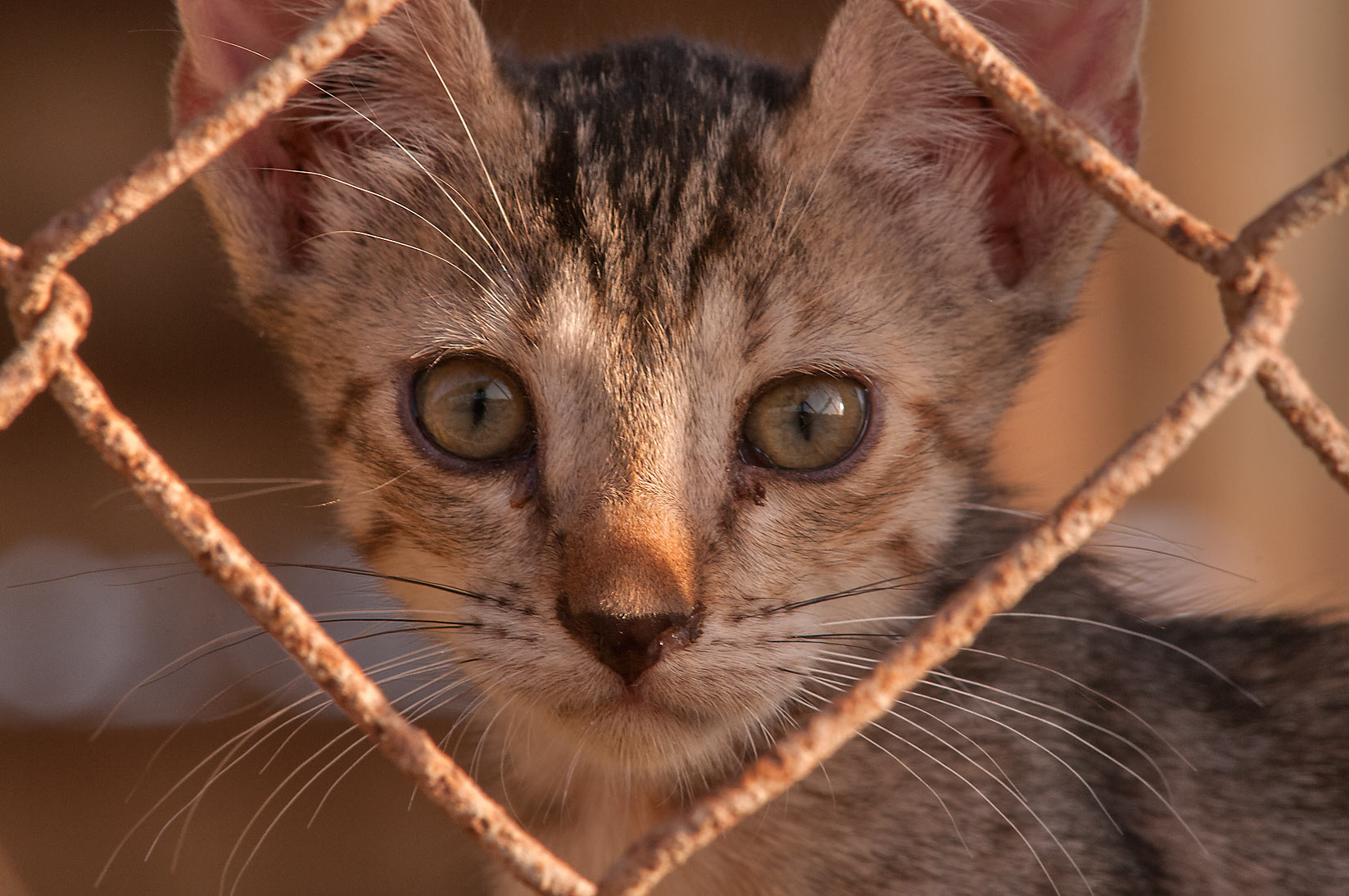 Tabby kitten looking through fence of sheep pen...area in Abu Hamour. Doha, Qatar