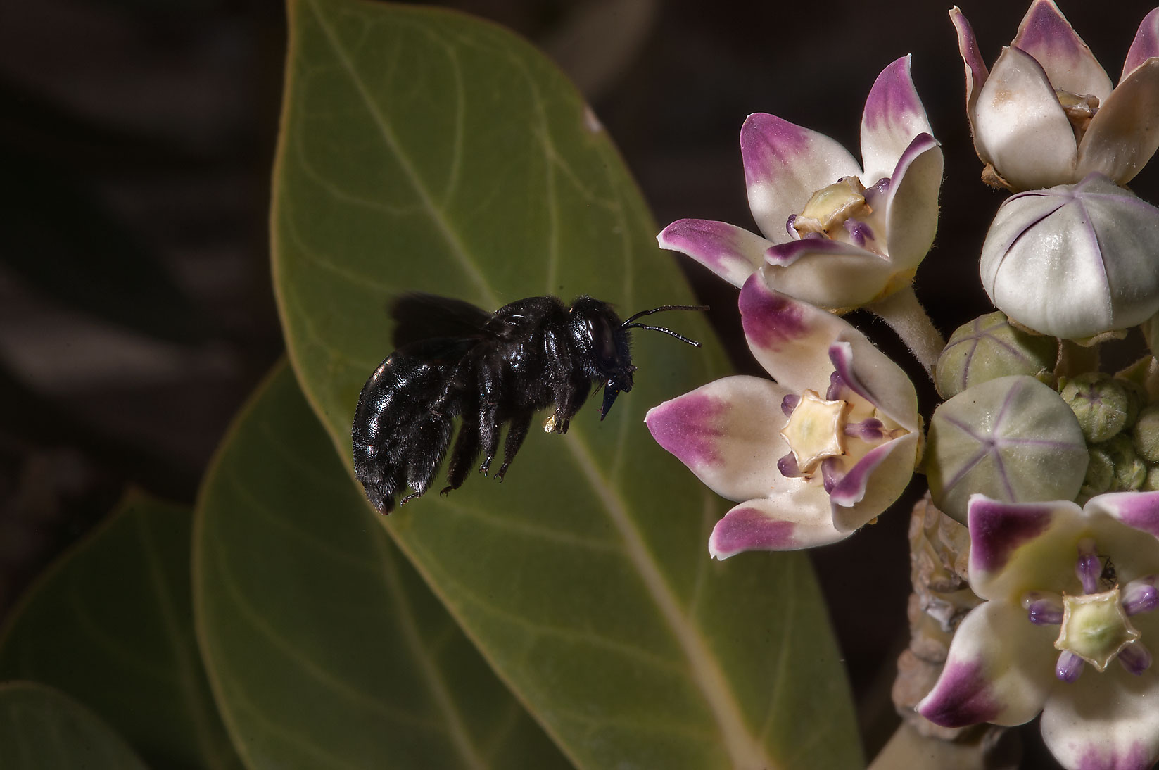 Hovering violet carpenter bee (Xylocopa violacea...Haloul St. in Abu Hamour. Doha, Qatar