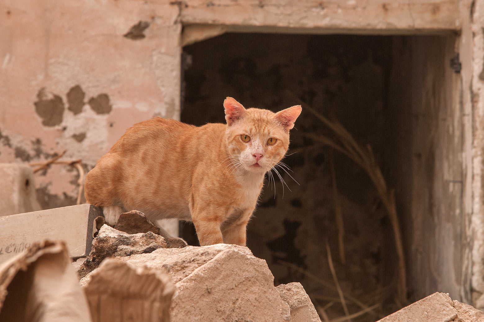 Brown mature cat standing on stone rubble in...Thani St., Musheirib area. Doha, Qatar