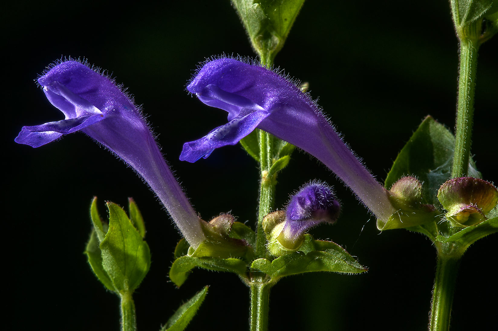Skullcap (Scutellaria) on Little Lake Creek Loop...National Forest. Richards, Texas
