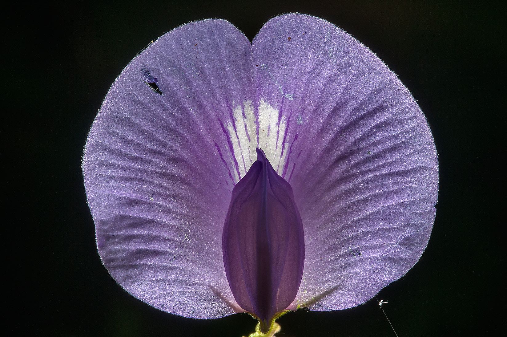 Back lit flower of Butterfly pea (Centrosema...National Forest. Richards, Texas