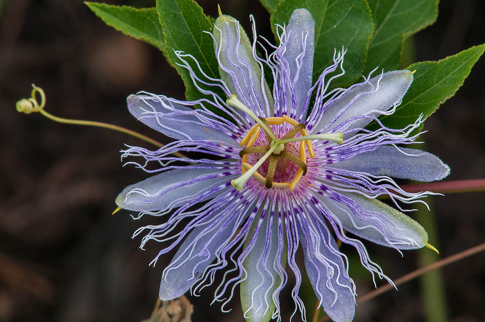 Passion flower (passiflora) with a tendril under...lines in Lake Bryan Park. Bryan, Texas