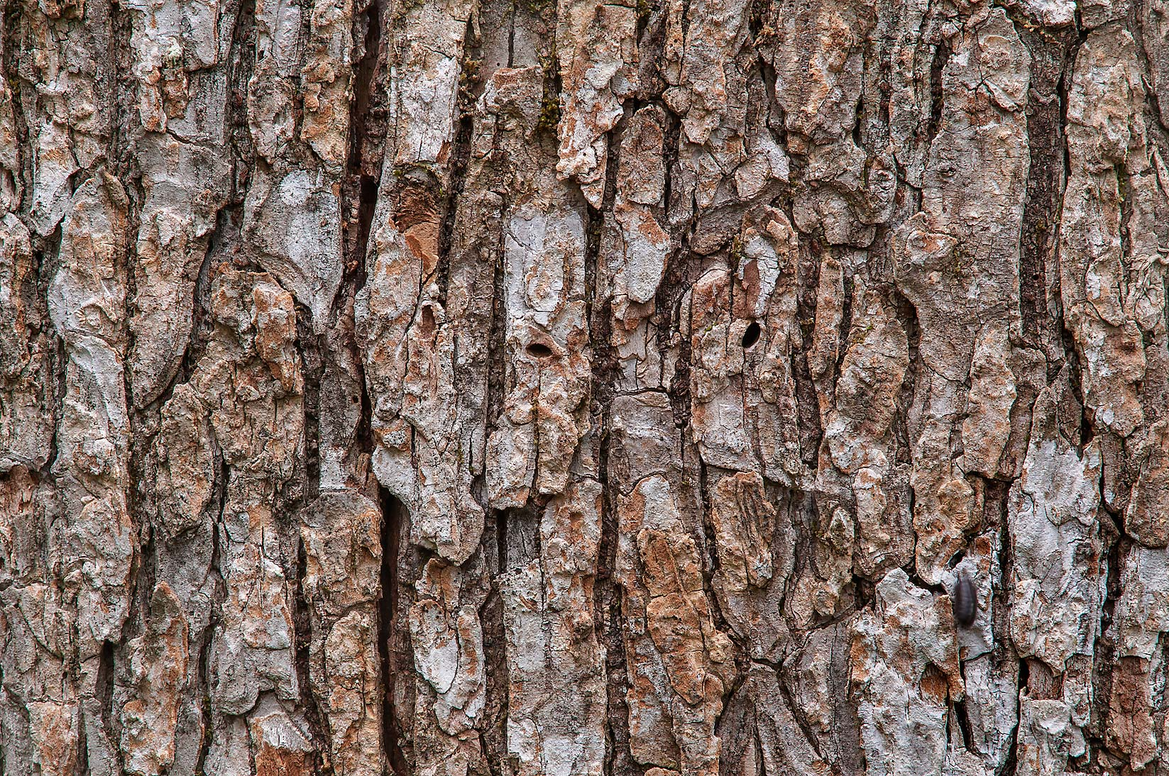 Bark of a tree on Racoon Run Trail in Lick Creek Park. College Station, Texas