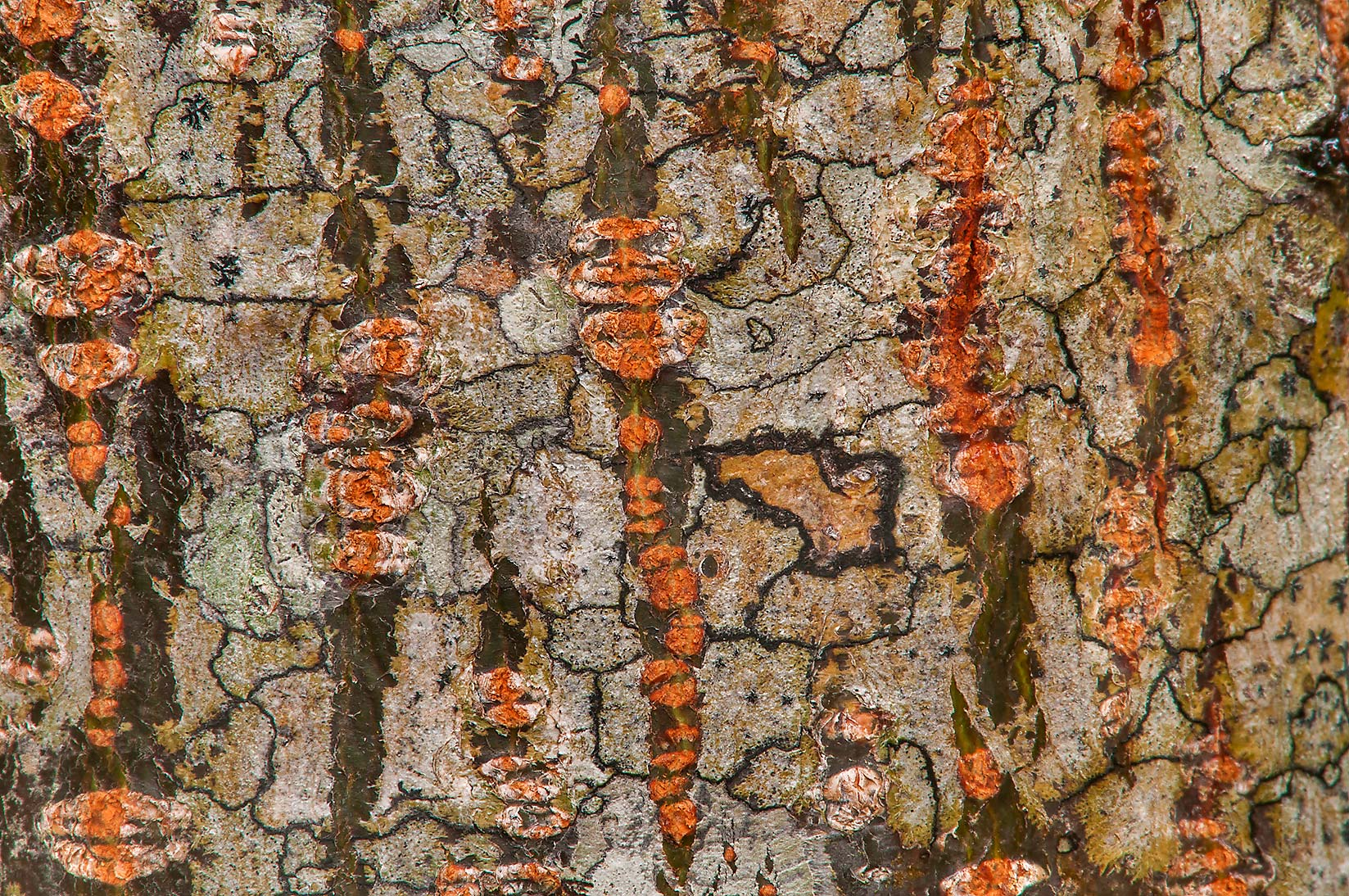 Chinaberry tree bark on Racoon Run Trail in Lick Creek Park. College Station, Texas