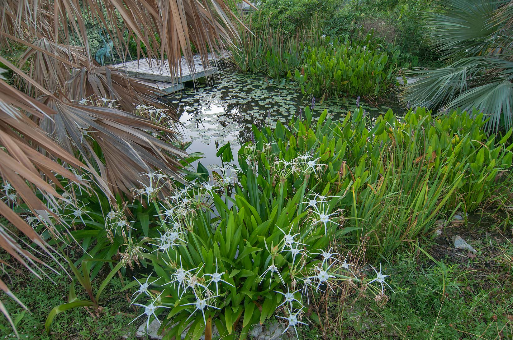 Spider lilies in Aquatic Garden in TAMU...M University. College Station, Texas