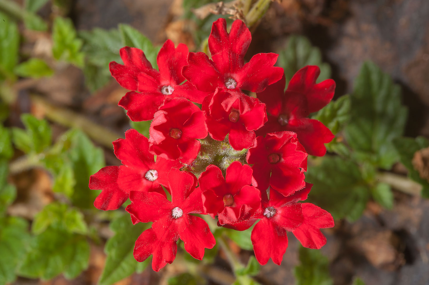 Red verbena flowers of Peruvian mock vervain...Gardens. Humble (Houston area), Texas